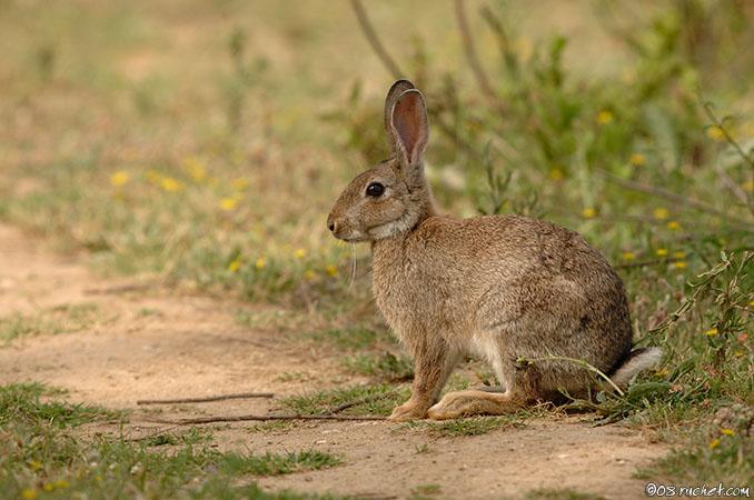 Les lapins nains lapins nac et oiseaux - Cuisiner un lapin de garenne ...