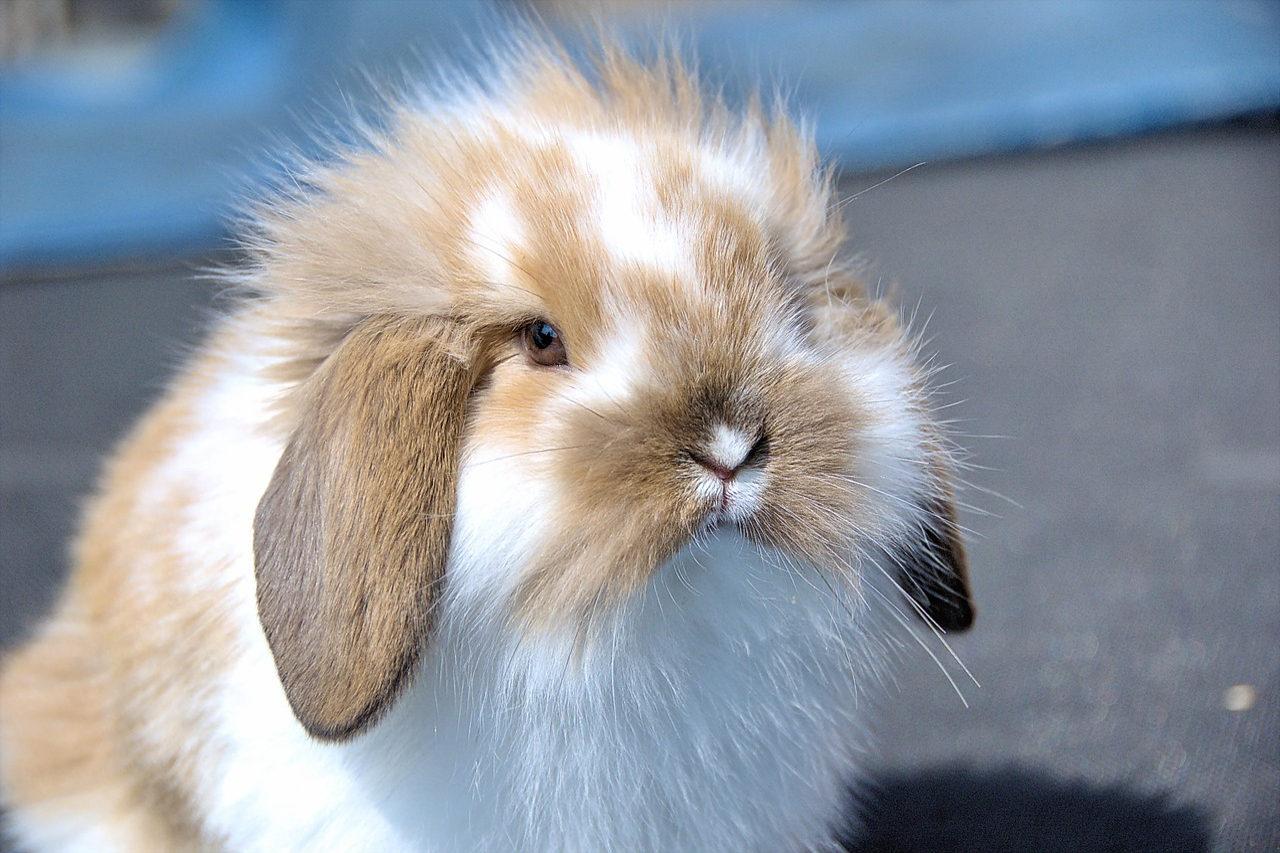Les autres races de lapins